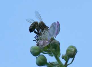 Altglas-Sammelstellen sind Seuchengefahr für Bienennachwuchs