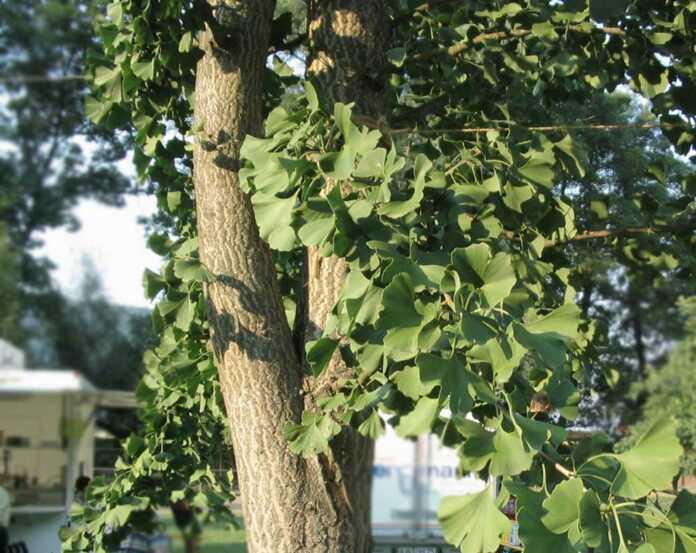 Remagen - Ginkgobaum gestohlen