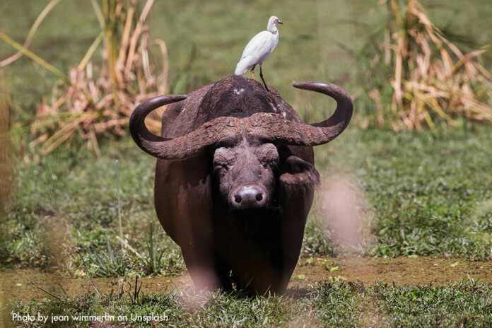 Wasserbüffel an der Ahrmündung