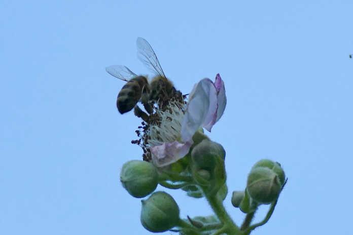 Artenreiche Wiese - Bienen machen Schule