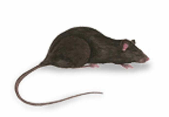 Rattenbekämpfung in der Verbandsgemeinde Bad Breisig