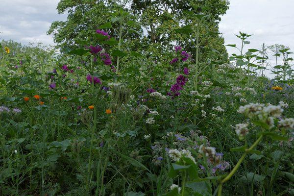 Wildkräuter vor unserer Haustüre - Hochsaison der Heilpflanzen @ Stadtpark Remagen Alter Friedhof