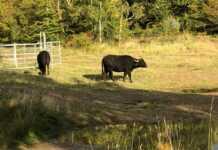Kommunalpolitiker informieren sich über Wasserbüffel