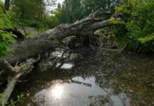 Baum Sinzig Ahr
