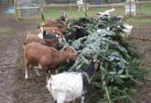 Weihnachtsbäume für den Schwanenteich