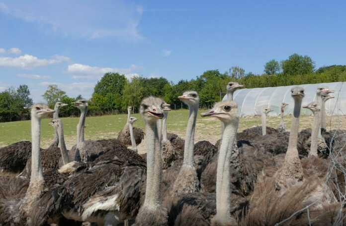 Urlaub zu Hause - Straußenfarm Gemarkenhof in Remagen - der Film